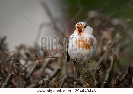 A Very Rare White Leucistic Robin Perched On The Top Of A Hedgerow With Its Beak Wide Open Singing