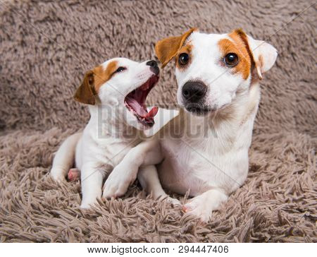 Jack Russell Terrier Adult Mother Dog And Puppy.