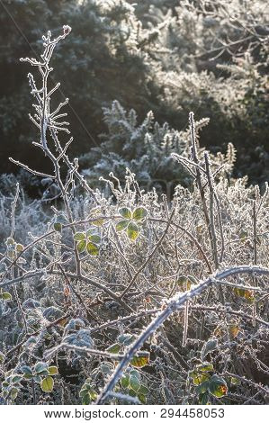 Frosted Winter Thorn Bush Backlit By Sunlight