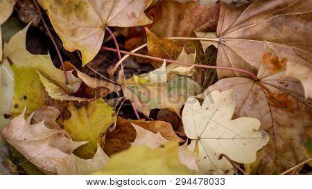Any Foliage Of Oak, Maple In Autumn