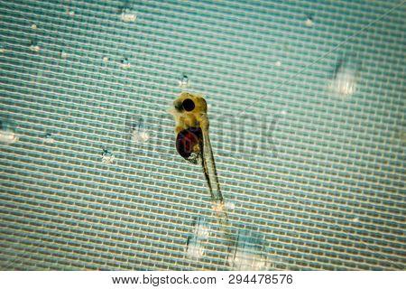 Macro Of A Fish Larva Of A Discus Fish