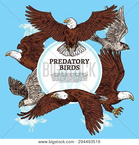 Eagles, falcons and predatory birds. Vector sketch vultures and hawks birds of prey and or bald eagle, falconry or falcon hunt poster
