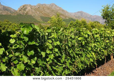 Vineyard, Montague, Route 62, South Africa.