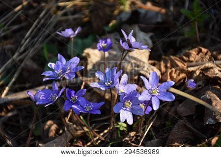 Group Of Blue Anemones, A Beautiful Spring Sign