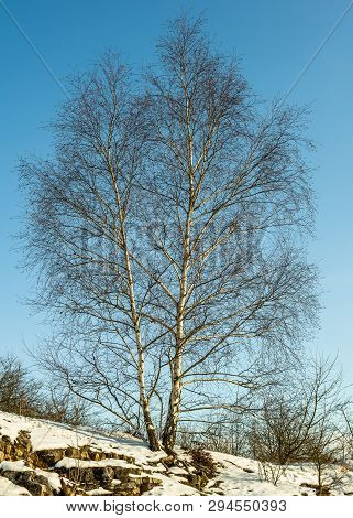 White Birch On A Hill With Frozen Snow