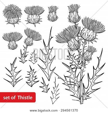 Vector Set With Outline Welted Thistle Or Carduus Plant, Spiny Leaf, Bud And Flower Bunch In Black I