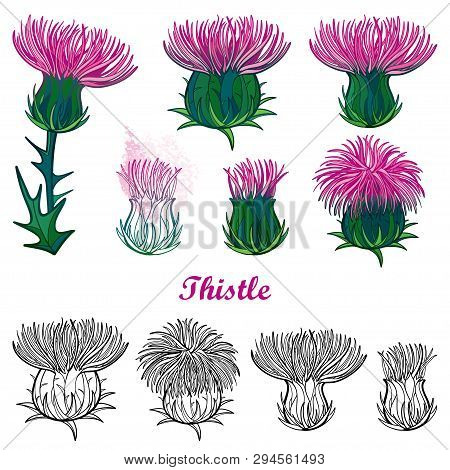 Vector Set With Outline Welted Thistle Or Carduus Flower Head, Spiny Leaf And Bud In Black And Pink
