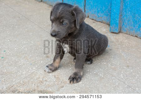 poster of Beautiful Puppy pooch gray color 2 months Ukraine