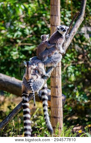 Ring-tailed Lemur Or Lemur Catta Mothers With Children