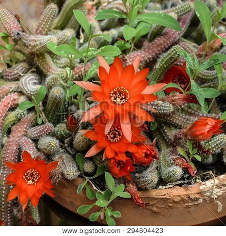 Flowers Of Rats Tail  Cactus In Patio