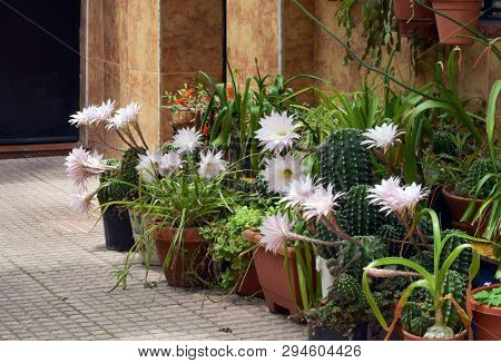 Flowers Of Easter Lily Cactus In The Patio