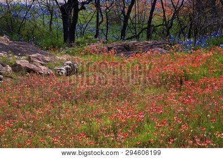 Paintbrush Flowers Cover A Hillside By Inks Lake State Park In Texas