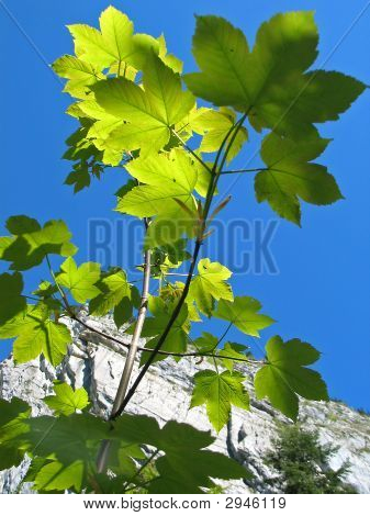 The Branches With Green Leaves