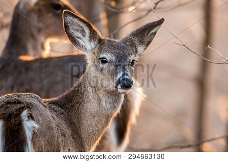 White Tailed Deer, Odocoileus virginianus, foraging in beautiful light at dusk, a primary host of ticks transmitting Lyme disease poster