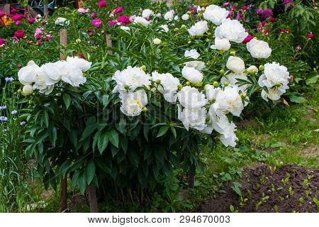 Pion-shaped Roses, A Bouquet Of Pion-shaped Roses On A Colored Background, Pink Pion-shaped Roses. G