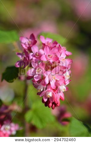 Winter Currant King Edward Vii - Latin Name - Ribes Sanguineum King Edward Vii