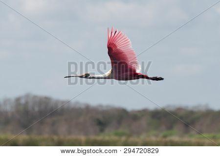 Roseate Spoonbill In Flight Over The Florida Everglades