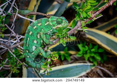 Wild Green Mediterranean Chameleon Or Common Chameleon - Chamaeleo Chamaeleon - In Bushes, Malta