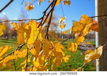 Close-up Of Yellowed Foliage, Yellowed Birch Foliage, Autumn Foliage