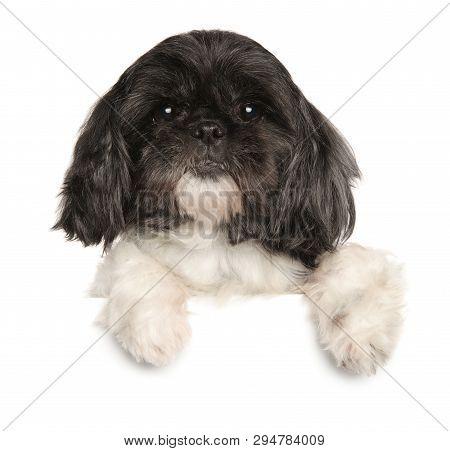 Close-up Of A Aged Shi-tzu Dog Above Banner, Isolated On White Background. Animal Themes