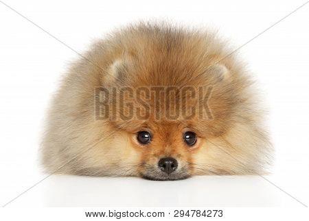Pomeranian Spitz Puppy Lying Down On White Background. Close-up
