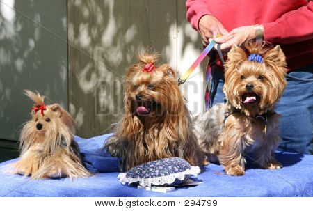 Three Toy Yorkies