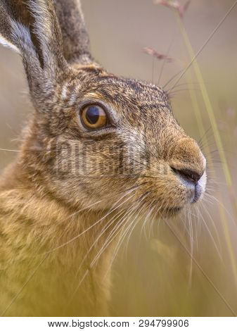 Close up Portrait of vigilant European Hare (Lepus europeaus) hiding in grass and relying on camouflage poster