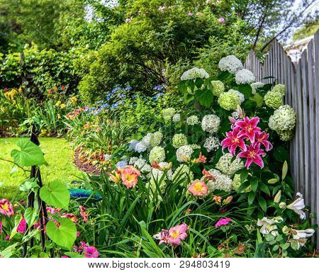 Stargazer lilies blooming in the home garden amoung shrubs and other perennials..