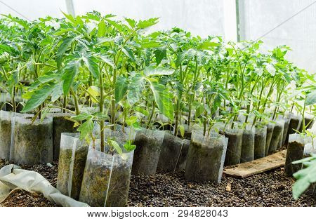 Seedlings Of Tomato. Growing Tomatoes In The Greenhouse