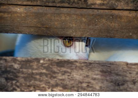 The Cat Hid In The Shelter And Watches The Prey Through The Gap Between The Boards. The Cat Is White