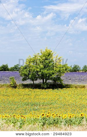 sunflower and lavender fields with a tree, Plateau de Valensole, Provence, France