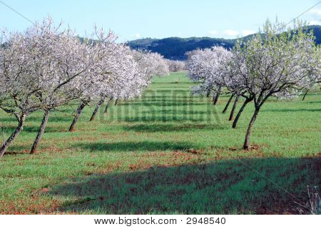Almond Orchard In Ibiza