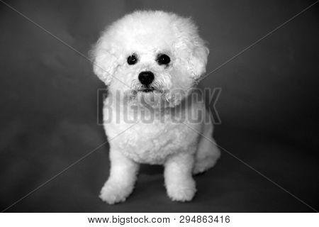 Bichon Frise dog. A small female bichon frise dog portrait on a blue seamless background. Mans best friend is a dog.  Black and white.