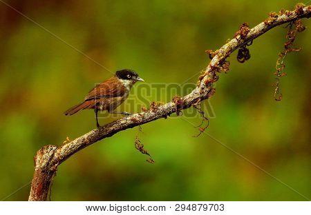 Dark Fronted Babbler, Rhopocichla Articeps, Ganeshgudi, Karnataka State Of India