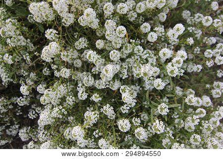 Bed With Flowers In An Early Autumn. Lobularia Maritima Syn. Alyssum Maritimum, Common Name Sweet Al