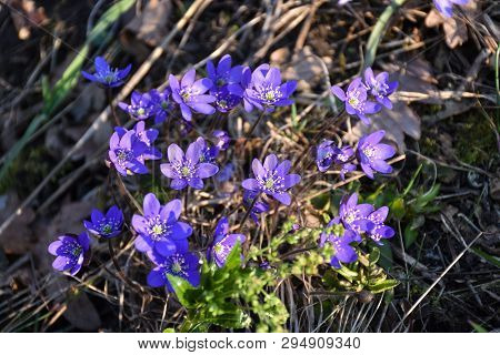 Beautiful Spring Season Sign With Blossom Blue Anemones