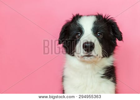Funny Studio Portrait Of Cute Smilling Puppy Dog Border Collie Isolated On Pink Pastel Background. N