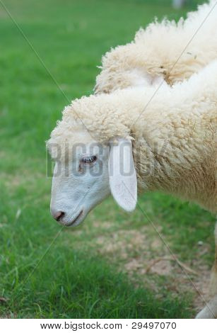 Sheep On The Grass Field