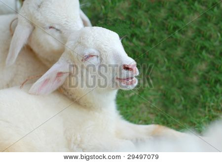 Smile Of Sheep