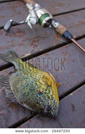 Hooked Bluegill