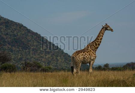 Giraffe In Kruger National Park In South Africa
