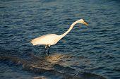 Great egret (Ardea alba) on a Florida beach poster
