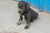 Beautiful Puppy pooch gray color 2 months Ukraine poster