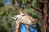 Tallest living terrestrial animal and largest ruminants are the distinctively patterned giraffe. poster