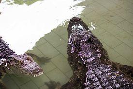 Crocodile In The Water, In Pattaya Crocodile Farm And Zoo, Thailand