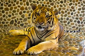 Bengal Tiger In The Zoo. Pattaya, Thailand