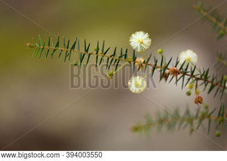 Australian Native Flower - Golden Wattle Blossom.  Small Flowers Less Than 1cm Budding In Winter.  S