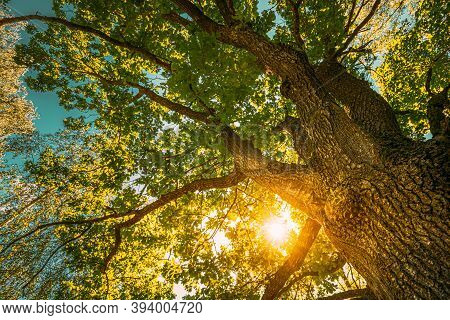 Beautiful Sunset Sunrise Sun Shining Through Oak Tree Branches In Sunny Summer Forest. Sunlight Sunr