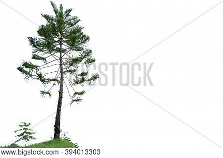 A Pine Tree Trunk With Leaves Branches On White Isolated Background For Green Foliage Backdrop And C