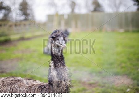Up Close View Of An Emu Behind A Wire Fence At A Farmyard